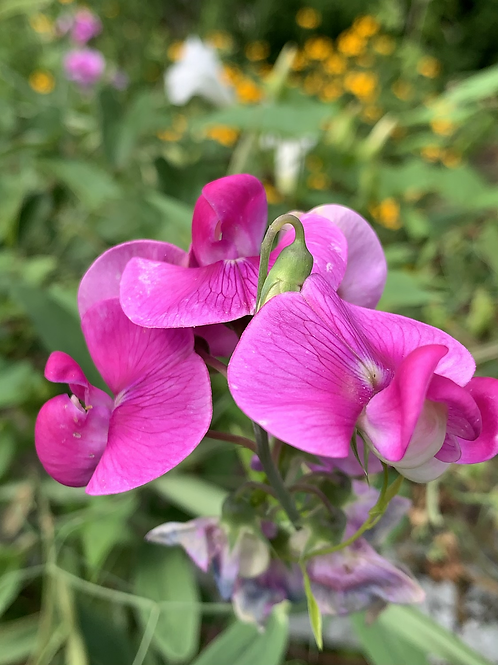 Mahantango Valley Pink Sweet Pea