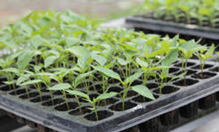 seedling-tray-250x250.jpg