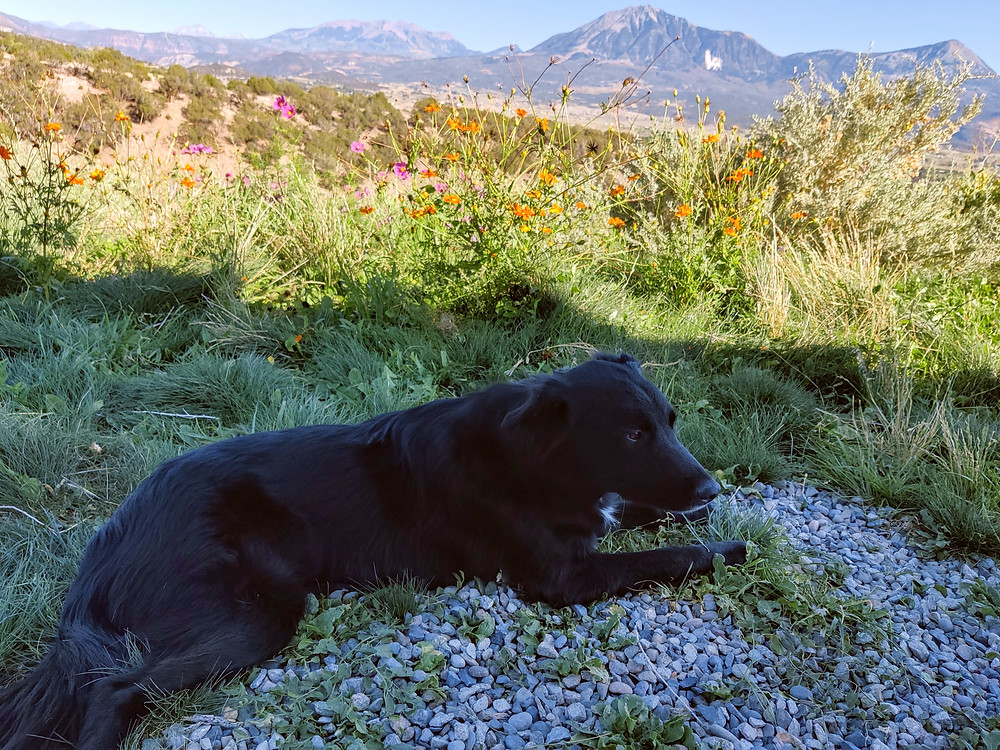 Storm Cellar Winery's dog Murphy with West Elks mountains in the background.