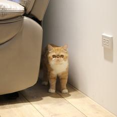 愛貓與熱心公益的女主人張小姐在設計初期,就很重視新家的「貓體工學」,那裡要有跳台,那裡要是貓的窩,那裡對貓是有趣的…。晴山也沒讓貓咪失望,看到她們在屋內自在的走動,聽似喵喵的說著滿意…誤…哈哈!
