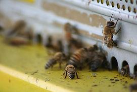 le api di laura.jpg