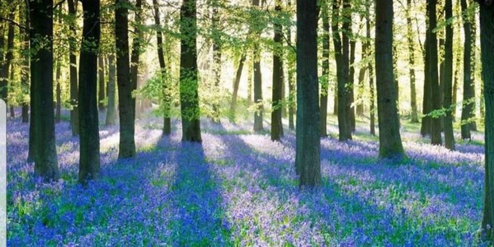 BANK HOLIDAY Surrey Woodlands - Seas of Bluebells - 18 km / 11 miles