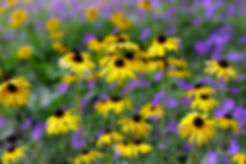 black_eyed_susan.jpg