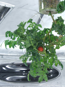 Close up of tomato plant