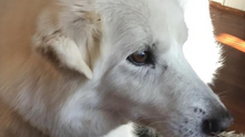 White Spirit Dog