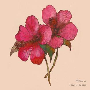 Hibiscus rosa-sinensis.jpg
