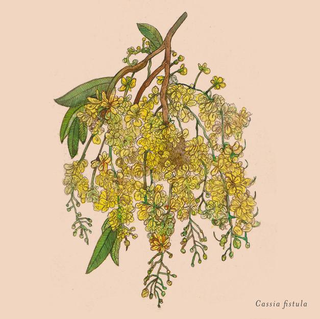 Cassia fistula.jpg