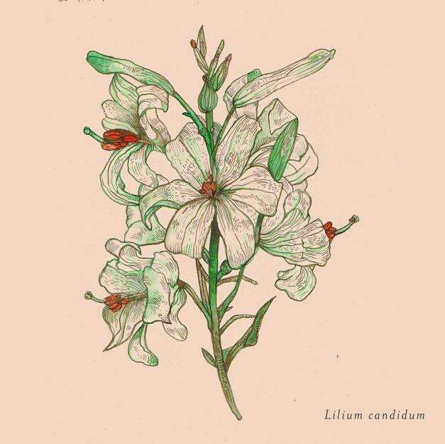 Lilium candidum.jpg