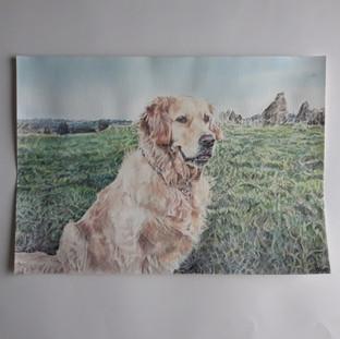 Labrador and grass