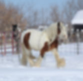 RRTF Donovan Gelding For Sale