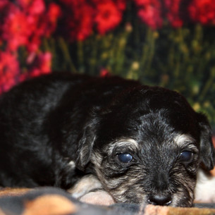 Male #3 Hava-Chon AVAILABLE