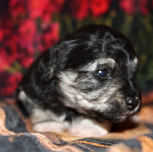 Male #2 Hava-Chon AVAILABLE