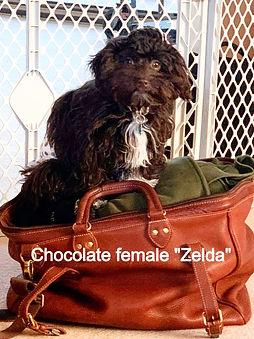 Chocolate female Zelda