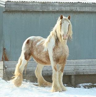 Mack is our Lp carrier, 15.2 hand Gypsy stallion TT, EE, aa, Lp/n