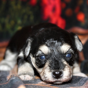 Male #1 Hava-Chon AVAILABLE