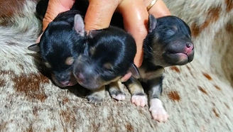 3 Male puppies AVAILABLE