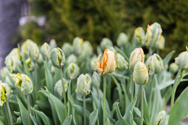 03_TFYFCo_Tulips.jpg