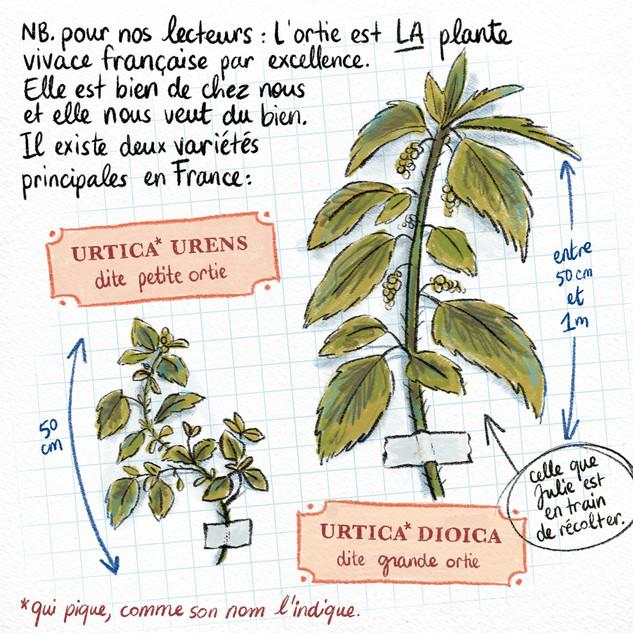 AudreyLainé_Permaculture_Orties_02.jpg