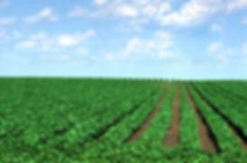 Soybean Field.jpg