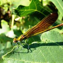 caloptéryx (2).JPG