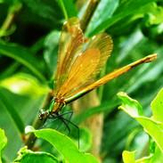 Le calopteryx ou demoiselle