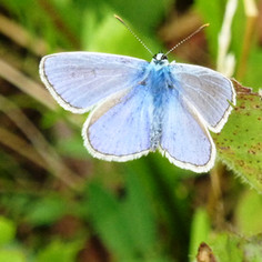 papillon_bleu_azuré.JPG