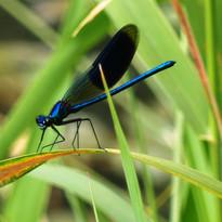 calopteryx male.JPG