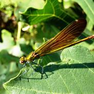 Le caloptéryx