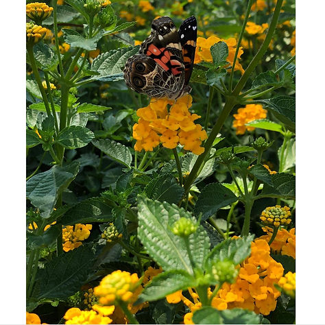 butterfly at chg .jpg