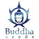 buddha-seeds-white-dwarf-auto.jpg
