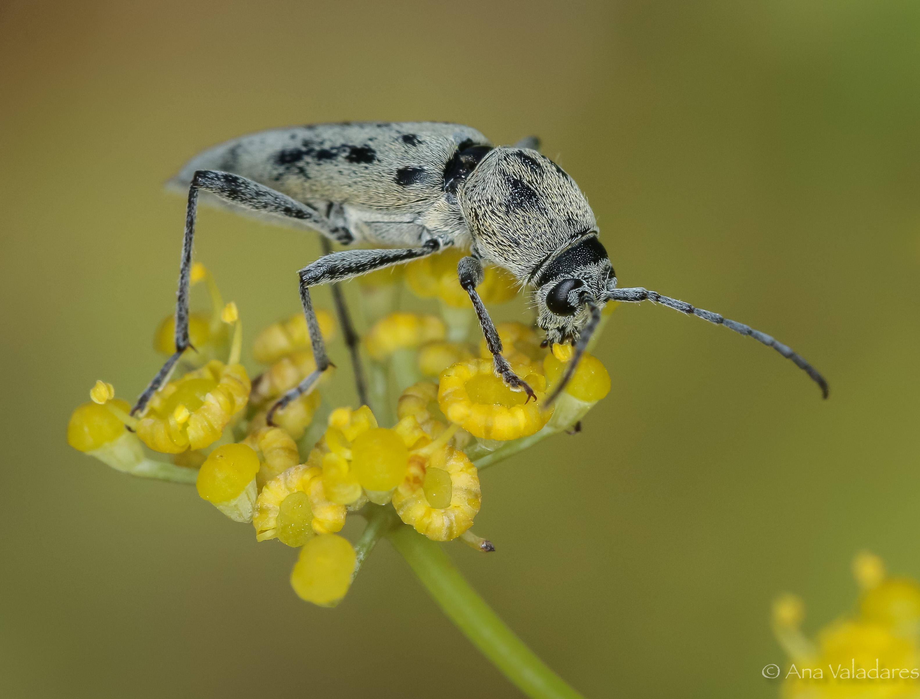 Chlorophorus glaucus