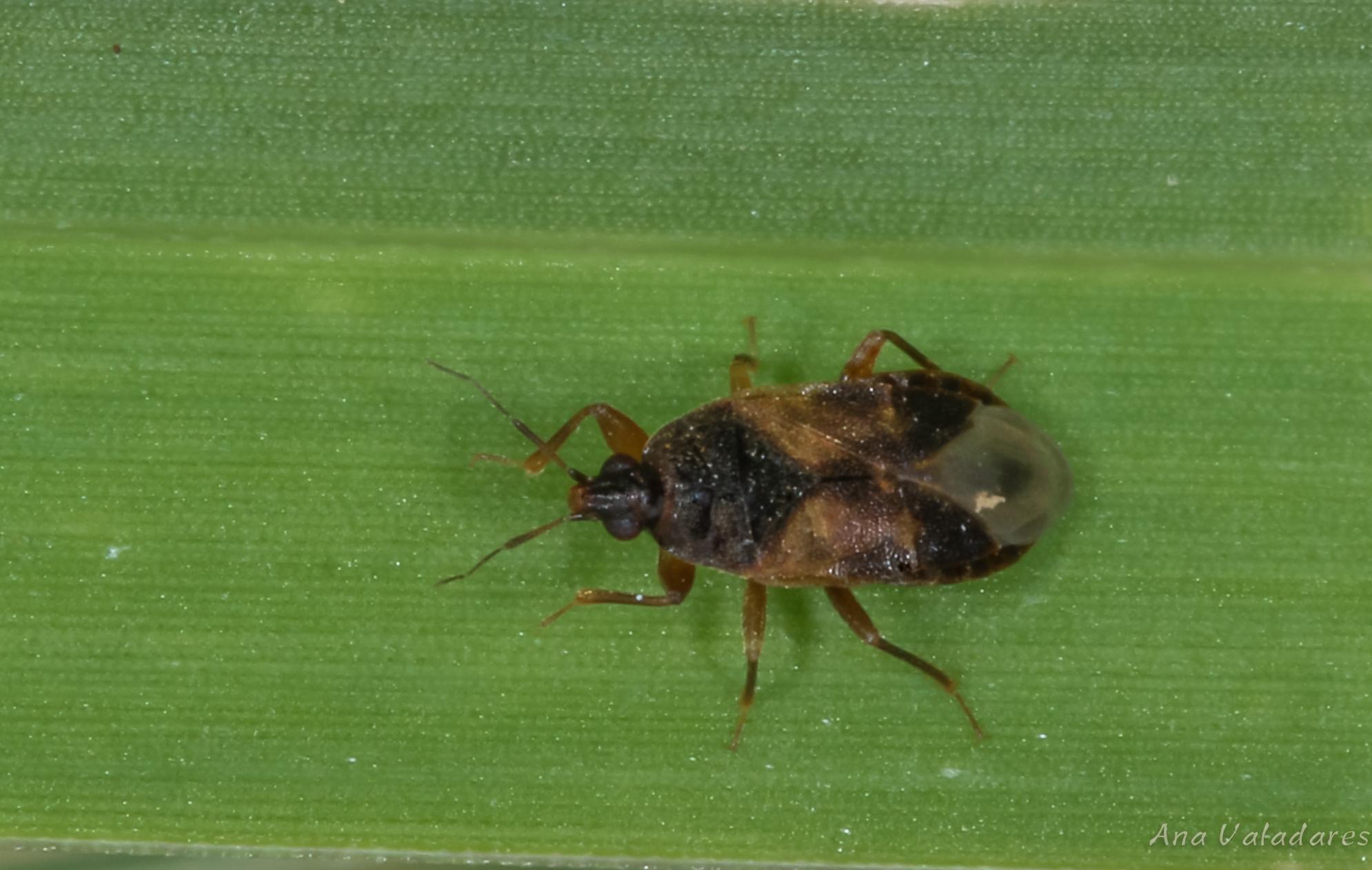 Lyctocoris campestris