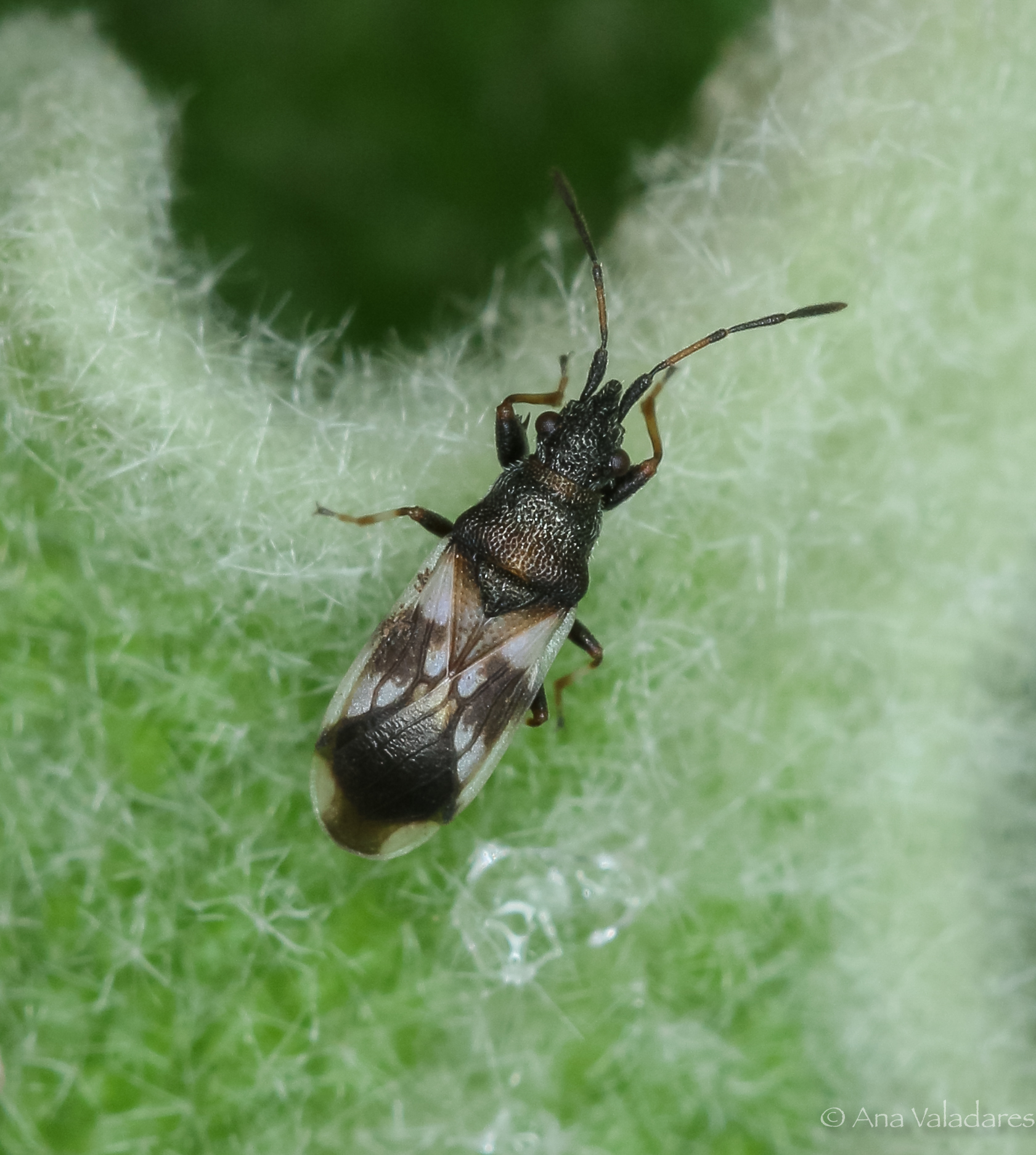 Macroplax fasciata