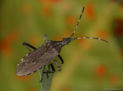 Dicranocephalus agilis