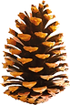 pine cone1_edited.png
