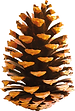 pine cone1.png