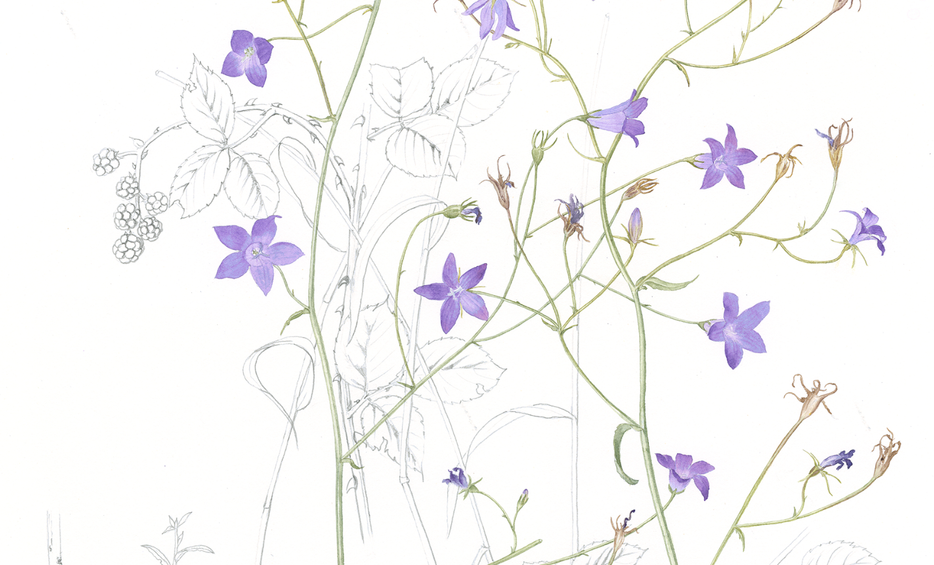 Spreading Bellflower © Annie Morris