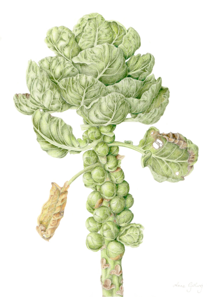 Brussel sprout © Anne Girling