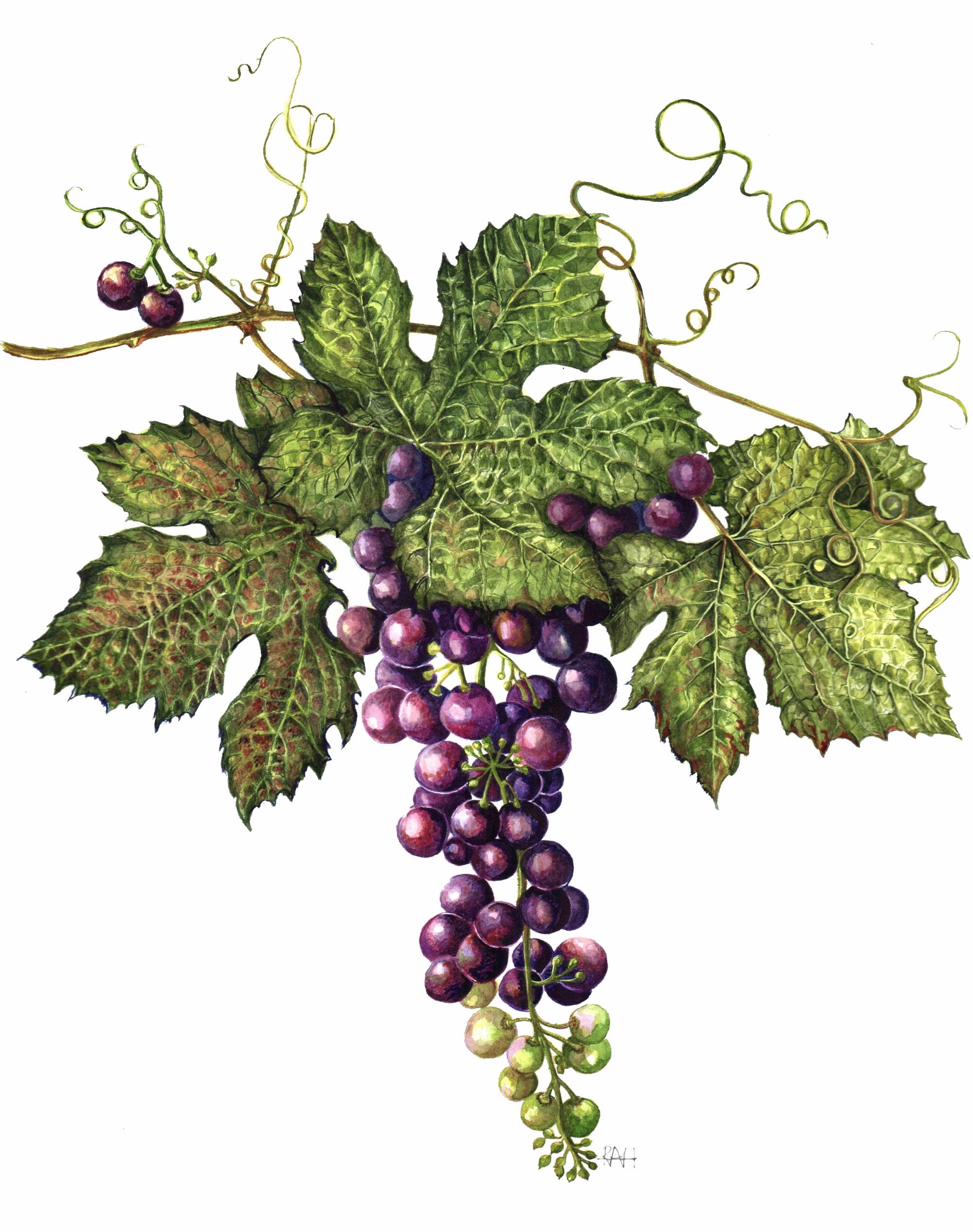 Ripening Grape Vine
