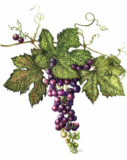 Ripening Grape Vine