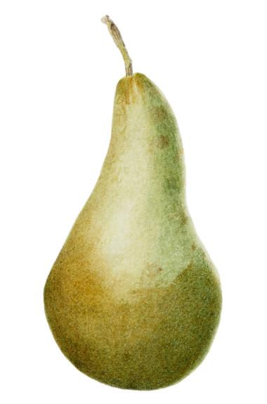Green pear © Sheelagh Keane