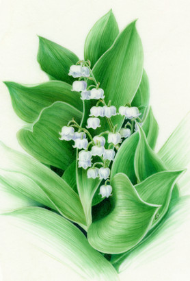 Lily of the valley - © Sandra Doyle - UK