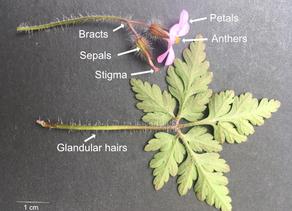 The three B's.... Beginner - Botany-Botanical Art