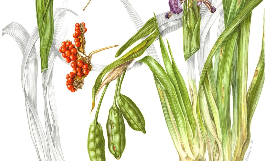 Stinking Iris © Gaynor Dickeson