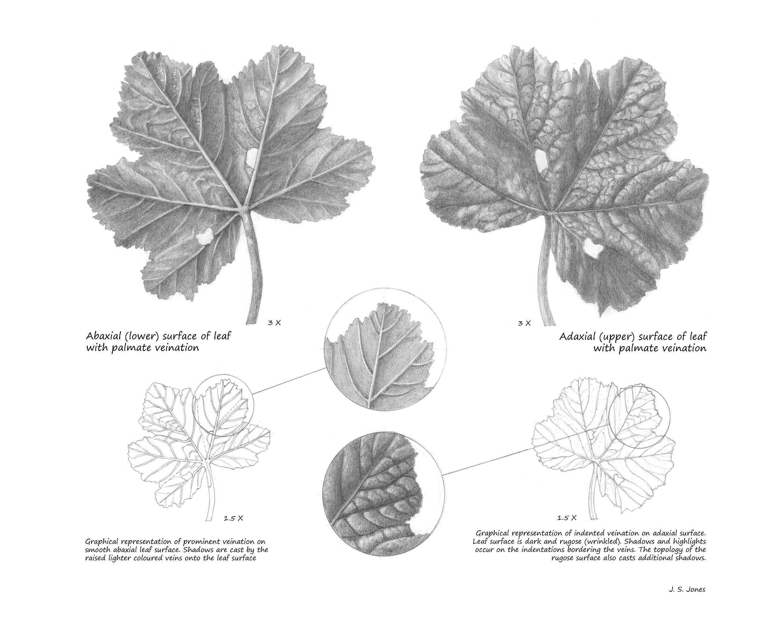 Dwarf Mallow Leaves