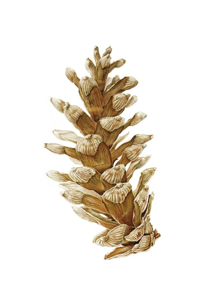The White Pine Cone - © Claire Ward - UK