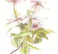 My botanical art: How I started
