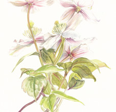 My botanical art: How I started