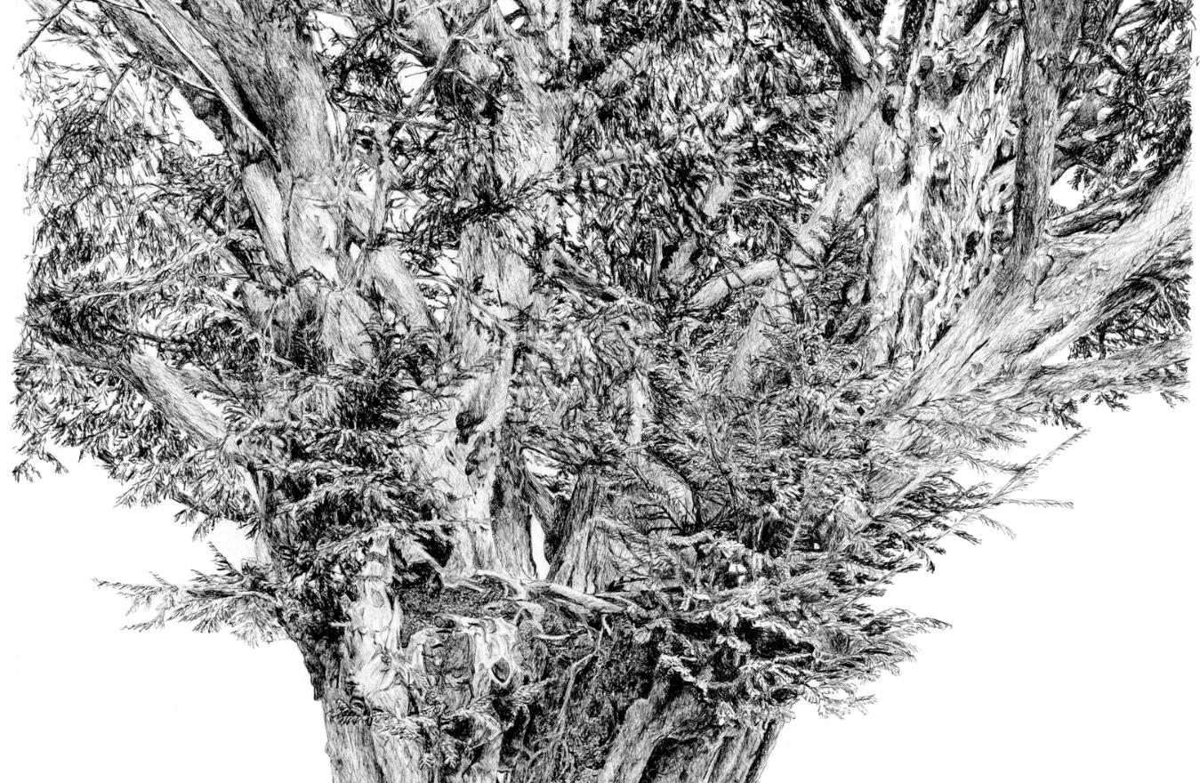 Yew © Pamela Taylor