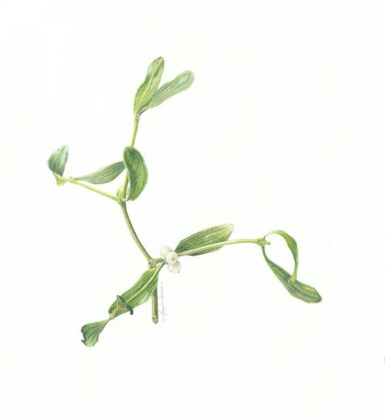 Mistletoe © Gaynor Dickeson - UK